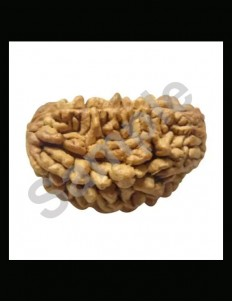 1 Face/Mukhi Certified Rudraksha 30mm +