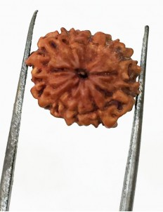 10 Mukhi Certified Rudraksha (Indonesia Origin) Size- 13mm