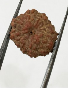 10 Mukhi Certified Rudraksha (Indonesia Origin) Size- 14mm
