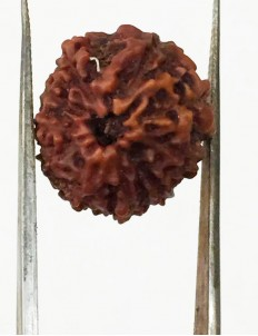 10 Mukhi Certified Rudraksha (Indonesia Origin) Size- 16.50mm