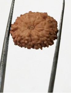 11 Mukhi Indonesia Certified Rudraksha- size - 13.50 mm
