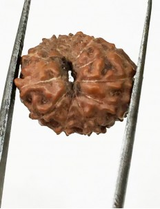 11 Mukhi Indonesia Certified Rudraksha size - 15 mm