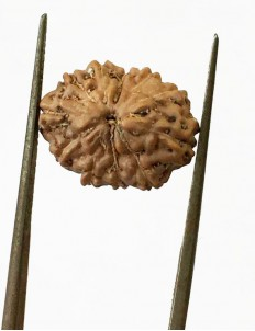 11 Mukhi Indonesia Certified Rudraksha size - 14.50mm