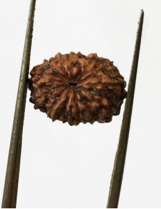12 Mukhi Certified Indonesian Rudraksha  Size- 13.50 mm