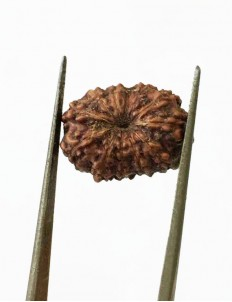 12 Mukhi Certified Indonesian Rudraksha  Size- 15.50 mm