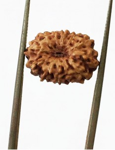 12 Mukhi Certified Indonesian Rudraksha  Size- 15 mm