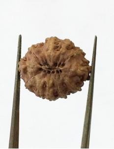 12 Mukhi Certified Indonesian Rudraksha  Size- 17.50 mm