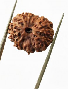13 Mukhi Certified Indonesian Rudraksha Premium quality Size- 17.50 mm