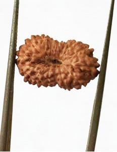 15 Mukhi Indonesian Rudraksha Size- 15 mm